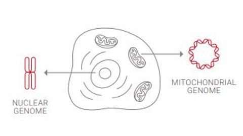 Identifying a Clinically Relevant Mitochondrial Variant